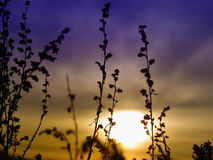 Silhouettes of plants against the sunset sky. Stock Photos