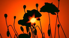 Silhouettes of poppies at sunset