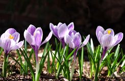 Silhouettes of purple crocuses on a dark background.