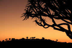 Silhouettes of quiver trees at sunset Royalty Free Stock Photo