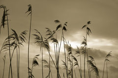 Silhouettes of reed plants. Sepia tinted Stock Photography