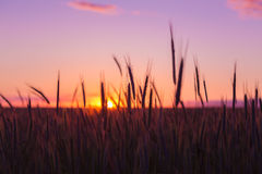 Silhouettes Of Ripe Wheat Against The Background Of Scenic Country. Silhouettes Of Spikelets Of Ripe Wheat Against The Background Of Scenic Country Summer Sunset royalty free stock photos