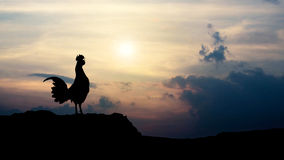 Silhouettes rooster crows in the morning Royalty Free Stock Photos