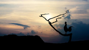 Silhouettes rooster crows in the morning Stock Images