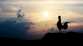 Silhouettes rooster crows in the morning Royalty Free Stock Photo