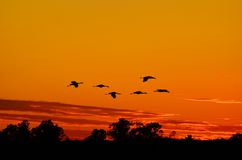 Silhouettes of Sandhill Cranes Flying at Sunset Royalty Free Stock Photos