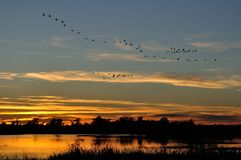 Silhouettes of Sandhill Cranes Flying After Sunset Stock Images