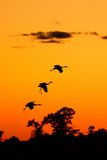 Silhouettes of Sandhill Cranes at Sunset Royalty Free Stock Images