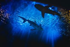 Silhouettes of Small White Sharks Swimming in Deep Blue Aquarium Tank. Silhouettes of small white sharks swimming in deep blue aquarium tank with rays of bright stock photos