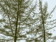 Silhouettes of the spruce trees in the wood Royalty Free Stock Photo