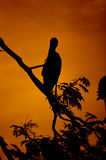 Silhouettes of stork bird. Silhouettes of stork birds on branch Stock Photography