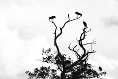 Silhouettes of storks in a tree - black and white. Silhouettes of storks and a bird in the dead branches of a tree in black and white Stock Images