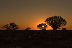 Silhouettes at sunset of quiver trees and rocks at Garas Royalty Free Stock Photography