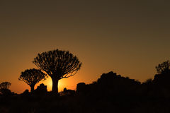 Silhouettes at sunset of quiver trees and rocks at Garas Royalty Free Stock Image