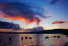 Silhouettes Of Swans On The Lake Stock Photo