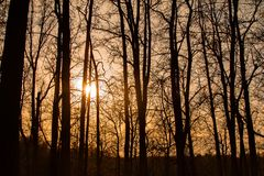 Silhouettes of tall trees at sunset in the forest. With sunlight between the trunks stock image