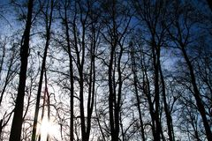 Silhouettes of tall trees at sunset in the forest. With sunlight between the trunks stock photography