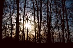 Silhouettes of tall trees at sunset in the forest. With sunlight between the trunks royalty free stock image