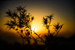 Silhouettes of thorns at sunset Stock Photography