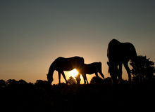 Silhouettes of three grazing horses Stock Photo