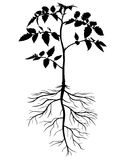 Silhouettes of tomato plants Royalty Free Stock Images