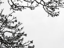 Silhouettes of tree branches covered with snow Royalty Free Stock Photo