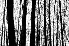 Silhouettes of tree trunks Royalty Free Stock Photos