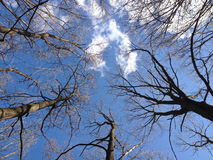 Silhouettes of trees with bare branches against blue sky backgro Stock Photography