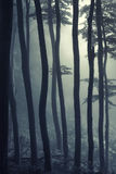 Silhouettes of trees in a foggy forest in light Stock Photos