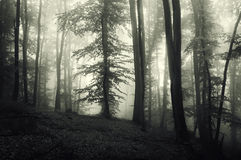 Silhouettes of trees in forest with fog Royalty Free Stock Image