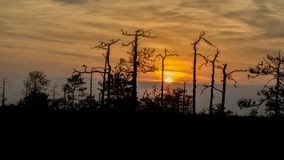 Silhouettes of trees growing on a swamp against the backdrop of the setting sun. Bizarre curved trees pines on a swamp stock photo