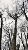 Silhouettes of trees without leaves in forest. Silhouettes of trees without leaves in autumn forest Royalty Free Stock Image