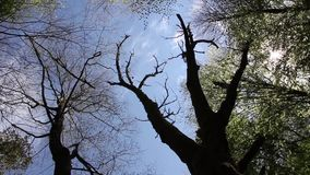 Silhouettes of Trees. Upwards. Outdoor, sky, sun and clouds in the background stock video footage