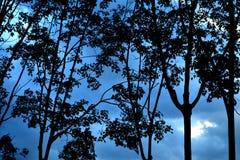silhouettes trees solljus för oak för skog för design för kant för ekollonhöstbakgrund Arkivfoton