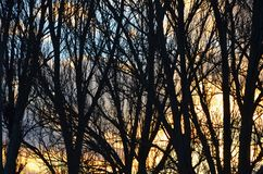 Silhouettes of trunks and branches of trees without foliage against the evening sky. Image royalty free stock photo
