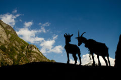 Silhouettes of two goats in the mountains. Silhouettes of two goats in the european alps Stock Image