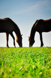 Silhouettes of two horses grazing on the green pasture. Stock Photography