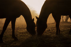 Silhouettes of two horses sharing hay Stock Photography