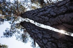 Silhouettes of two thick pine tree trunks and tops Royalty Free Stock Photo