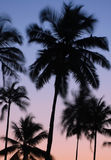 Silhouettes of Vibrating Palm Trees. At dawn in the Indian state of Goa Stock Photo