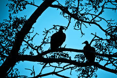 Silhouettes of vultures in a tree at night Royalty Free Stock Image