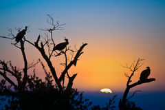 Silhouettes of vultures in a tree at sunset Royalty Free Stock Photos
