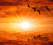 The silhouettes waterbirds under the sun. Birds on the red-colored sky with sun rays Stock Image