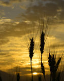Silhouettes of wheat ears at colorful sunrise. Blurred background of mountains. Creative image of nature. Concept of clean ecology and harvest Stock Photography
