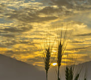 Silhouettes of wheat ears at colorful sunrise. The photo was taken during sunrise at mountain region of the Middle East Royalty Free Stock Images