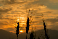Silhouettes of wheat ears at colorful sunrise. The photo was taken during sunrise at mountain region of the Middle East. Creative image of nature. Concept of Stock Images