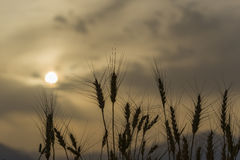 Silhouettes of wheat ears at dust storm. Selective focus on plants. Blurred background of dust clouds and mountains. Creative image of nature. Concept of Stock Photo