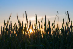 Silhouettes of wheat ears Royalty Free Stock Image