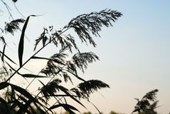 Silhouettes of the wild plants. Dark silhouettes of meadow plants against the colourless sky stock photography