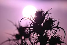 Silhouettes of wild thistles at sunrise Royalty Free Stock Photos